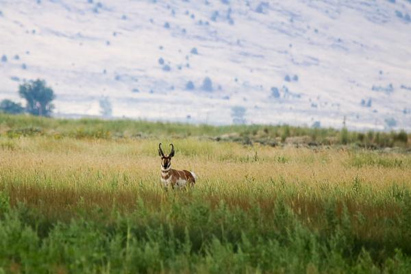 Pronghorn Hunting In California
