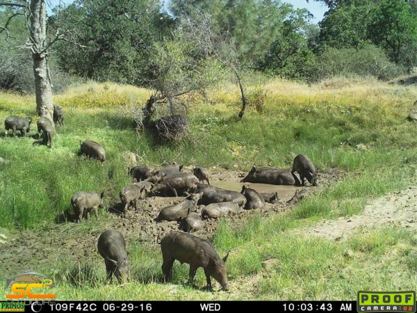 Hog Hunting with SC2 Outdoors