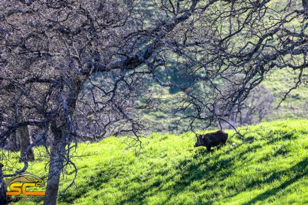 Hog Hunting California's Shasta County Foothills