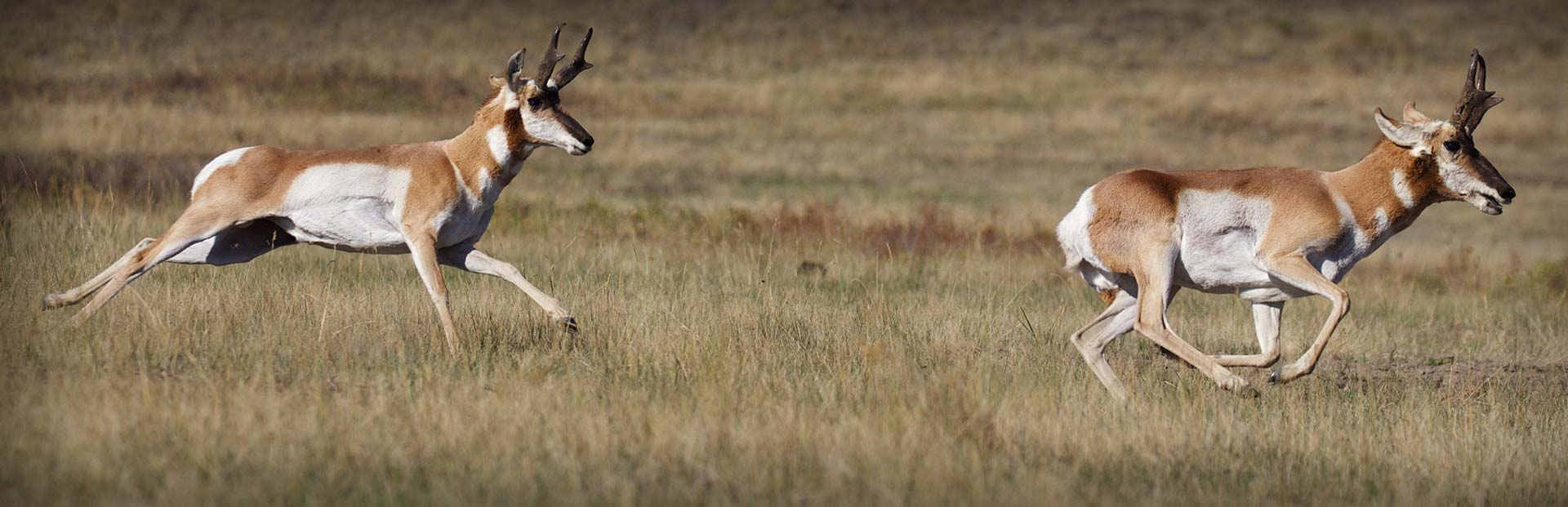 California Pronghorn Hunting Guides & Outfitters