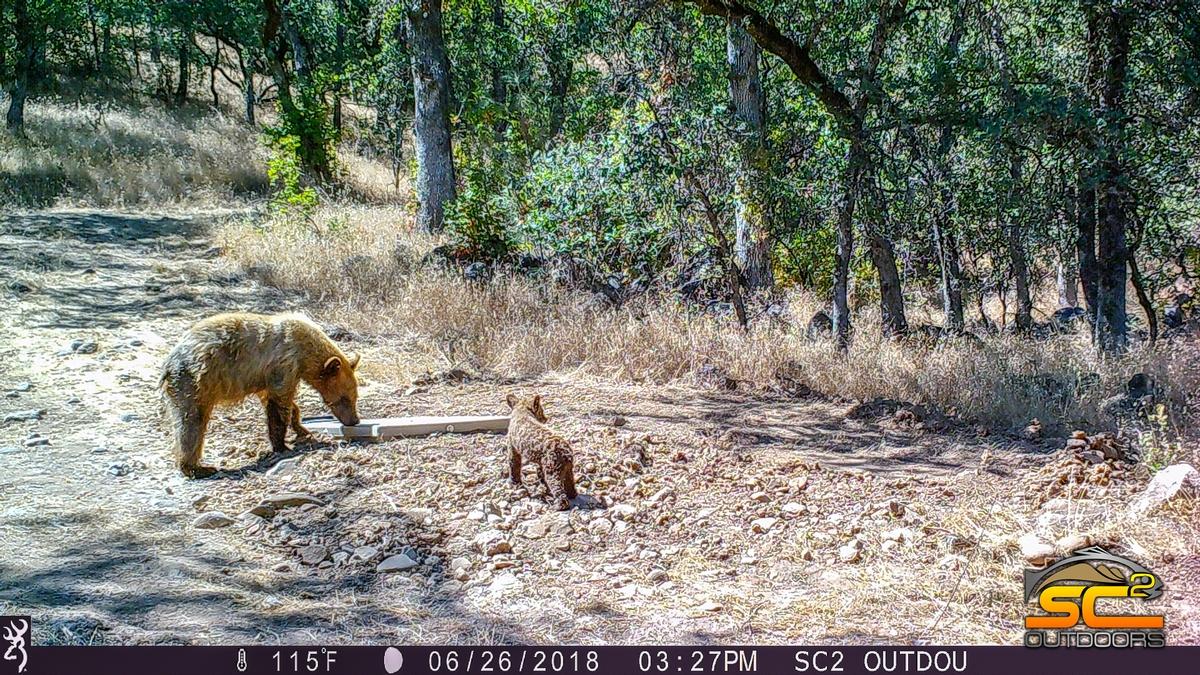 California Black Bear Sow and Cub Shasta County California SC2 Outdoors