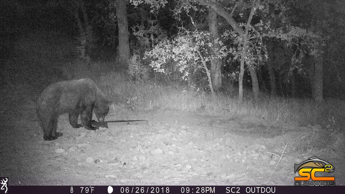 California Black Bear a Valley Boar SC2 Outdoors