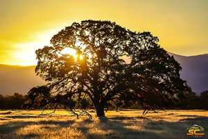 California Valley Oak at Sunset | Shasta County, California