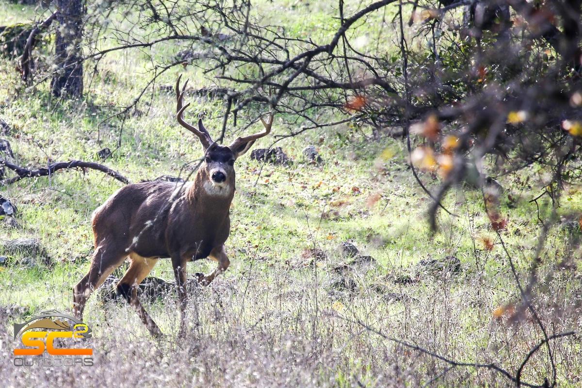 Blue Oaks Blacktail Buck
